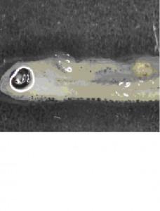Пластмасови частици в трупа на млада риба